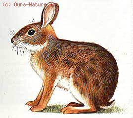 Кролик бразильский (Sylvilagus brasiliensis)