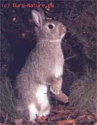 Кролик европейский дикий (Oryctolagus cuniculus)