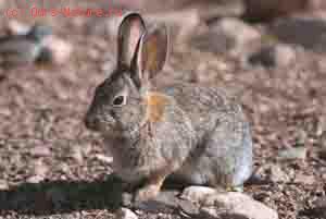 Кролик курчавохвостый (Pronolagus crassicaudatus)
