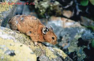 Пищуха степная (Ochotona pusilla)