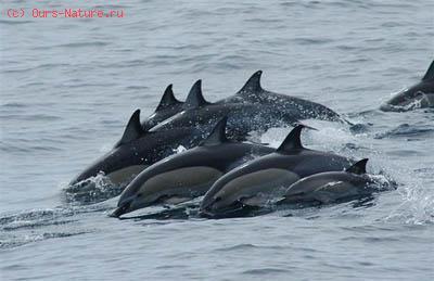 Дельфин (Delphinus delphis)