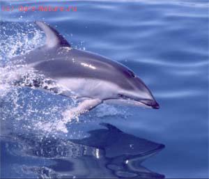 Дельфин беломордый (Lagenorhynchus albirostris)