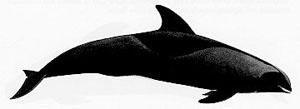 Дельфин бесклювый (Peponocephala electra)