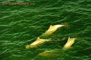Дельфин гвианский (Sotalia guianensis)