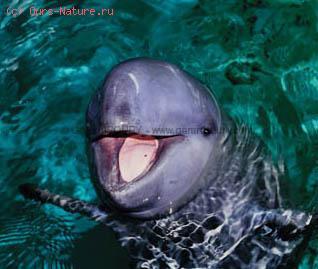 Дельфин иравадийский (Orcella brevirostris)
