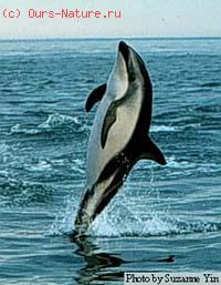 Дельфин тусклый (Lagenorhynchus obscurus)