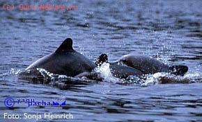 Дельфин чилийский (Cephalorhynchus eutropia)