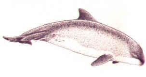Свинья морская калифорнийская (Phocaena sinus)