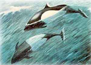 Свинья морская очковая (Phocaena dioptrica)
