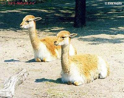 Викунья (Lama vicugna)