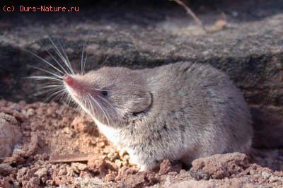 Бурозубка пустынная (Notiosorex crawfordi)