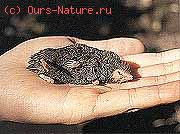 Кротоземлеройка чешуелапая (Anourosorex squamipes)