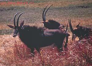 Антилопа чёрная (Нippotragus niger)