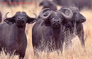 Буйвол африканский (Syncerus caffer)