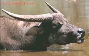 Буйвол индийский (Bubalus arnee)