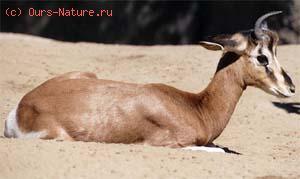 Газель гранта (Gazella granti)