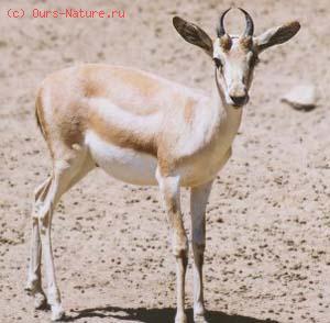 Джейран (Gazella subgutturosa)
