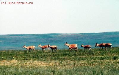 Дзерен монгольский (Procarpa gutturosa)