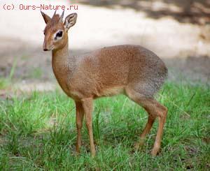 Дикдик рыжебрюхий (Madoqua phillipsi)