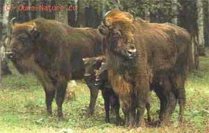 Зубр (Bison bonasus)