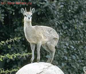 Клипшпрингер (Oreotragus oreotragus)