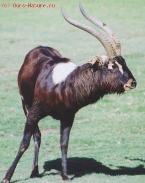 Козёл суданский (Kobus megaceros)