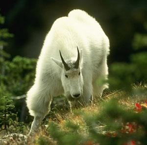 Коза снежная (Oreamnos americanus)