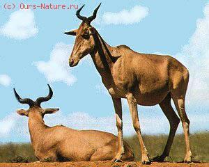 Конгони (Alcelaphus buselaphus)