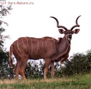 Куду большой (Tragelaphus strepsiceros)