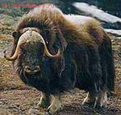Овцебык (Ovibos moschatus)
