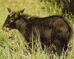 Серау (Capricornis sumatraensis)