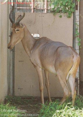 Хирола (Damaliscus hunteri)