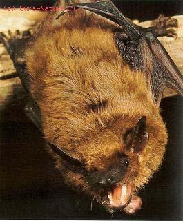 Кожан бурый (Eptesicus fuscus)