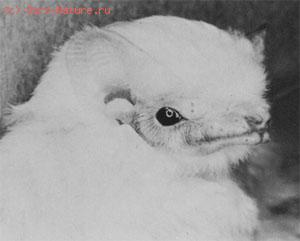 Футлярохвост белый (Diclidurus albus)
