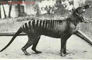 Волк сумчатый (Thylacinus cynocephalus)