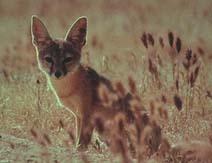 Лисица афганская (Vulpes cana)
