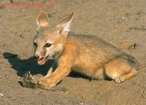Лисица карликовая (Vulpes macrotis)