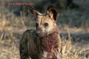 Собака гиеновидная (Lycaon pictus)