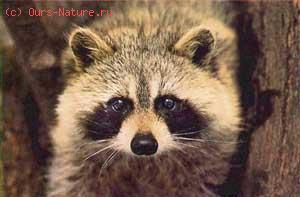 Собака енотовидная (Nyctereutes procyonoides)