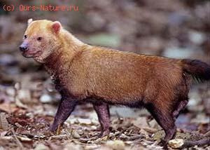 Собака кустарниковая (Speothos venaticus)