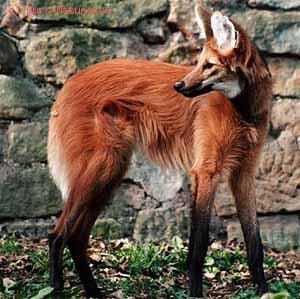 Волк гривистый (Chrysocyon brachyurus)