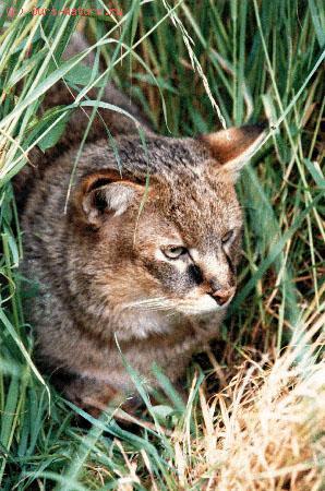 Кот камышовый (Felis chaus)