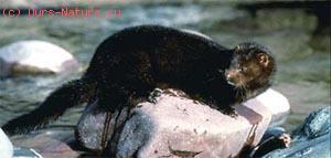 Норка европейская (Mustela lutreola)