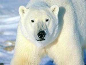 Медведь белый (Ursus maritimus)