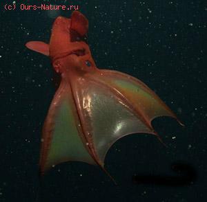Кальмар-вампир адский (Vampyroteuthis infernalis)
