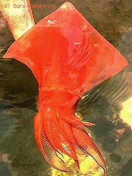 Кальмар-ромб (Thysanoteuthis rhombus)