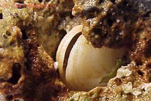 Камнеточец-петрикола (Petricola lithophaga)