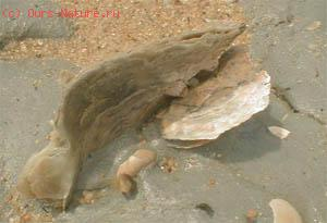 Плакуна тропическая (Placuna placenta)