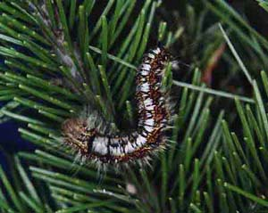 Коконопряд сибирский (Dendrolimus sibiricus)