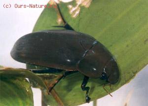 Водолюб большой (Hydrous aterrimus)
